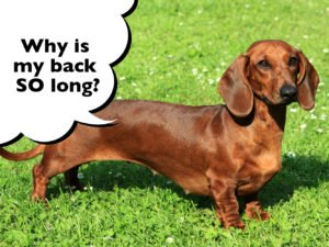 Why do Dachshunds have long bodies