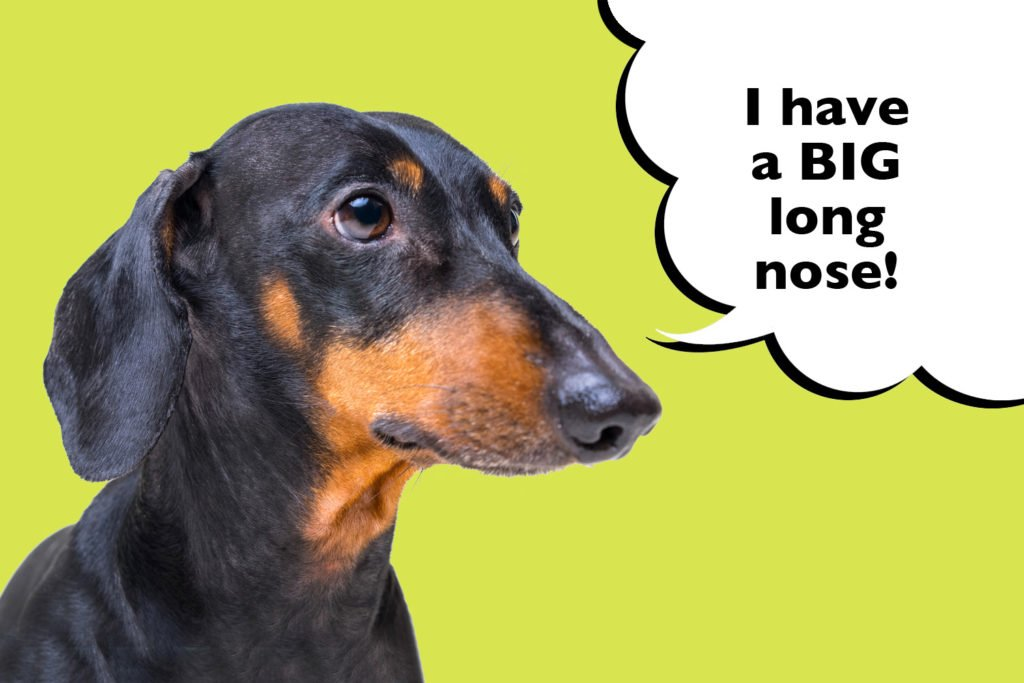 A Purebred Dachshunds with a long pointy nose