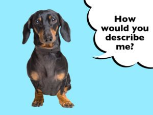 What does a Dachshund look like