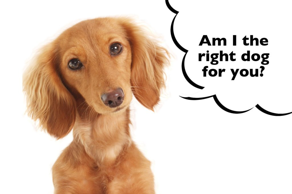 "Long-haired Dachshund on a white background with a speech bubble that says ""Am I the right dog for you?""."