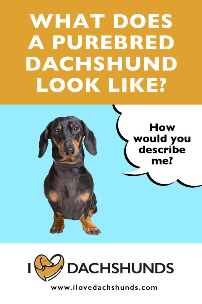 'What does a Purebred Dachshund look like' text with photo of a Dachshund underneath