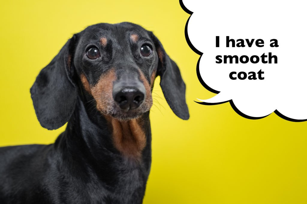 A purebred smooth-haired Dachshund
