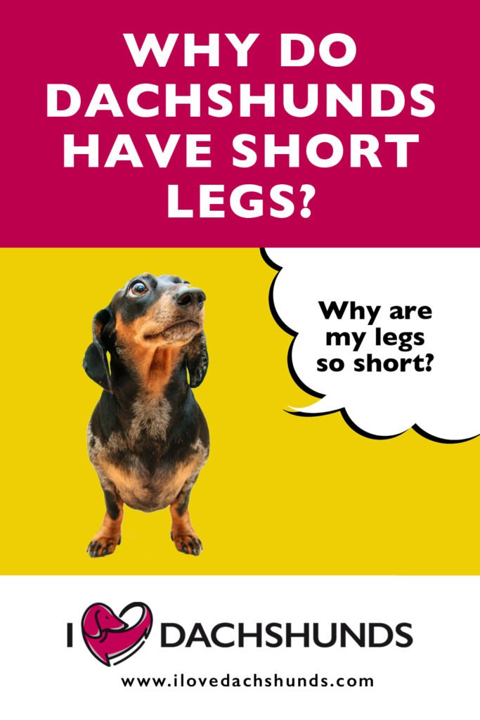 Why Do Dachshunds Have Short Legs text with image of a Dachshund for Pinterest