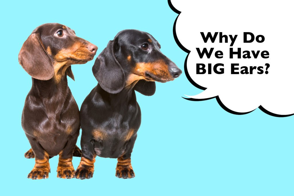 Two Dachshunds with big floppy ears