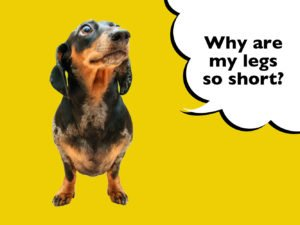 Why Do Dachshunds Have Short Legs?