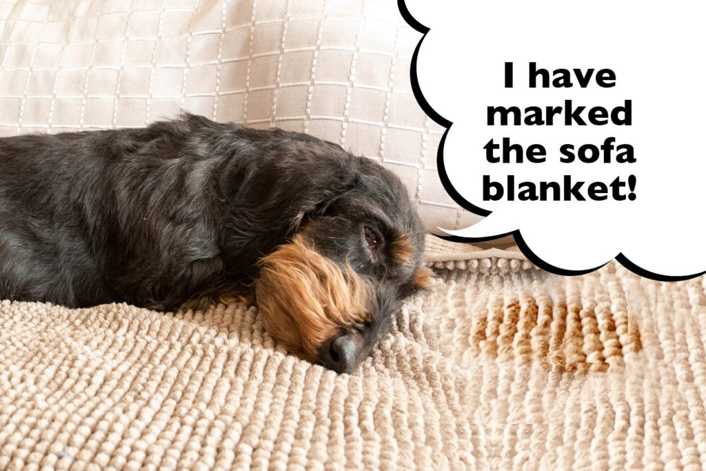 Dachshund laying on a sofa blanket with a speech bubble that says 'I have marked the sofa blanket'