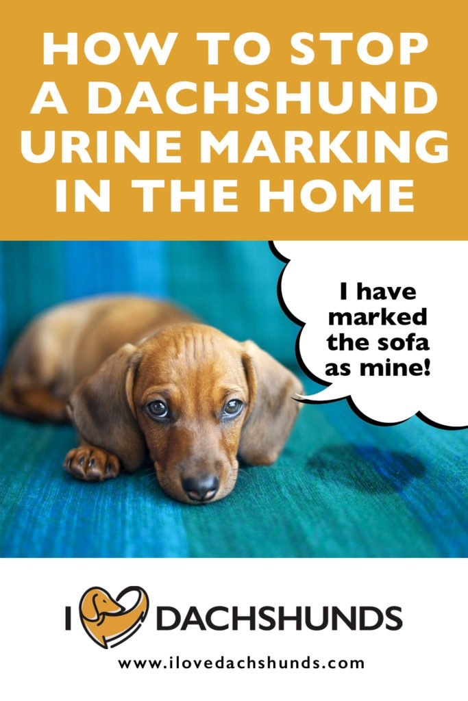'How to stop a Dachshund marking in the home' wording with a Dachshund laying next to a damp patch on the sofa