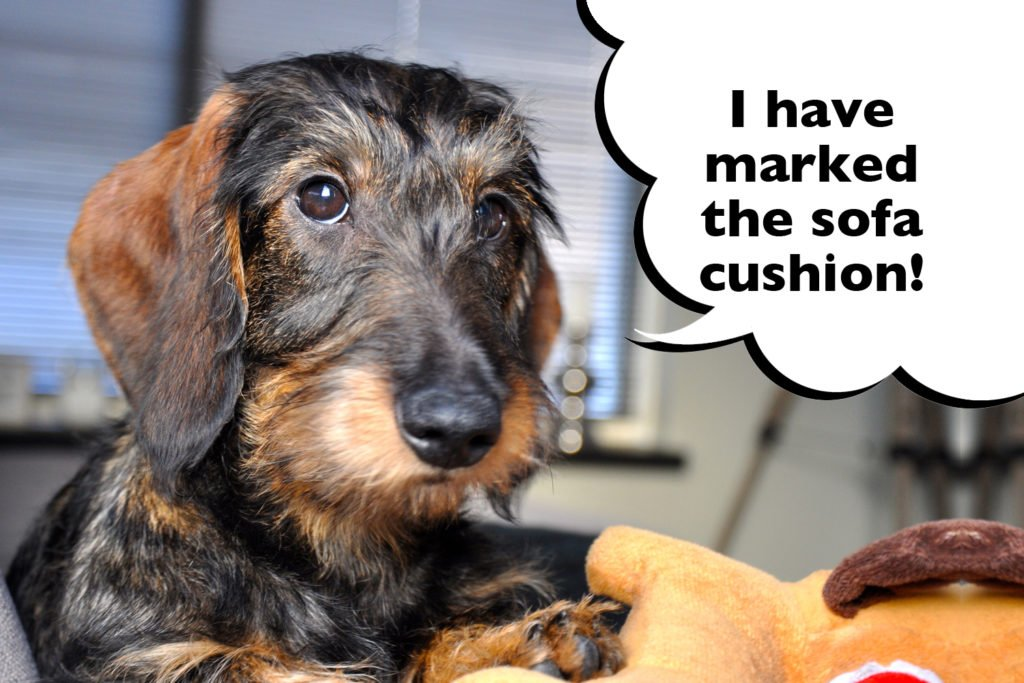 Dachshund laying on the sofa with speech bubble that says 'I have marked the sofa cushion'