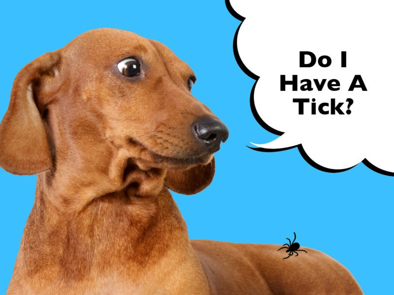 How to remove a tick from a Dachshund