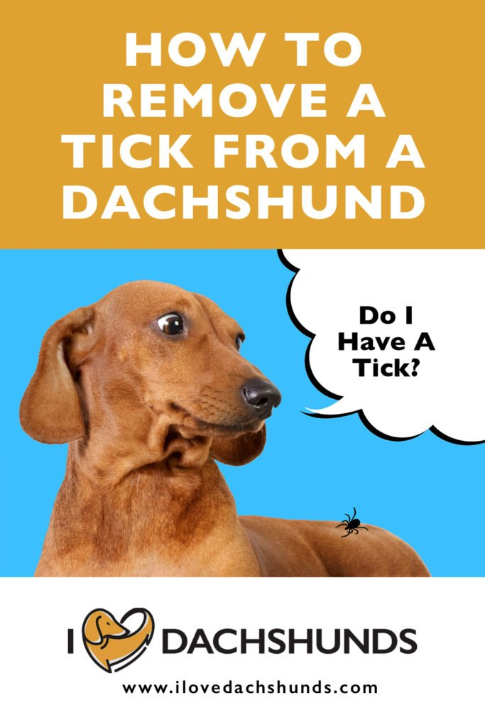 How to remove a tick from a Dachshund wording with an image of a surprised looking Dachshund looking at a tick