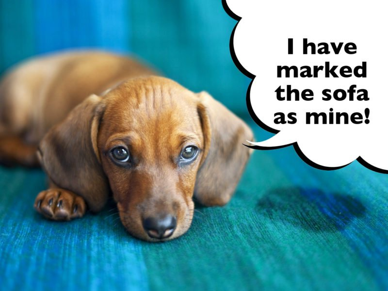 How to stop a Dachshund urine marking