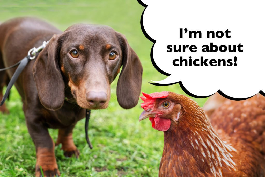 A Dachshund in the garden with a chicken with a speech bubble that says 'I'm not sure about chickens'.