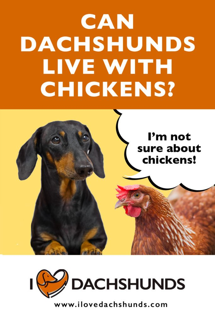 'Can Dachshunds Live With Chickens?' heading with a photo of a Dachshund and a chicken and a speech bubble that says 'I'm not so sure about chickens'.