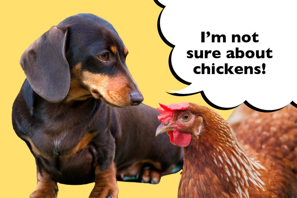 A Dachshund looking at a chicken with a speech bubble that says 'I'm not sure about chickens'.