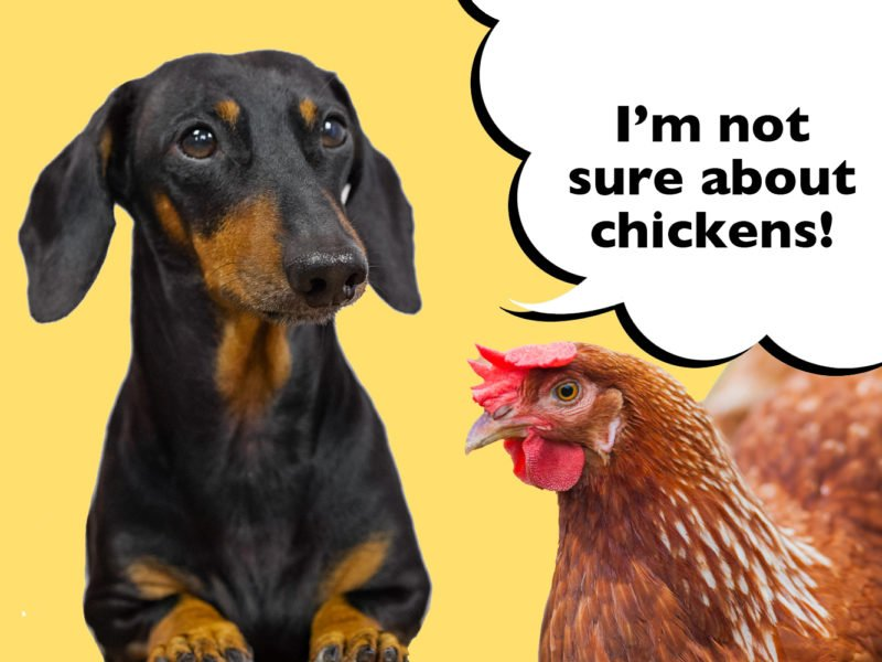 Can Dachshunds live with chickens
