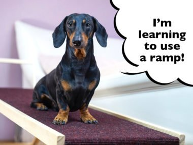 How to train a Dachshund to use a dog ramp