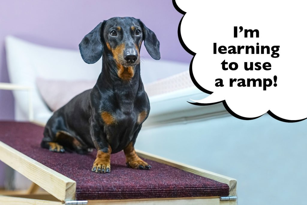 Dachshund sat on a dog ramp with a speech bubble that says 'I'm learning to use a ramp'