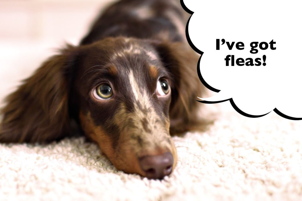 Dachshund laying down with a speech bubble that says 'I've got fleas'.