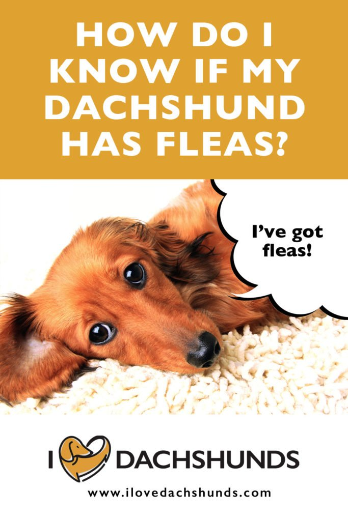 'How do I know if my Dachshund has fleas' heading with a Dachshund laying down and a speech bubble that says 'I've got fleas'