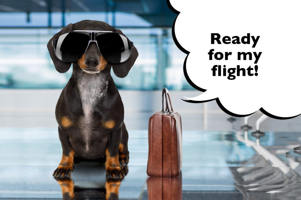Can Dachshunds fly on a plane? Funny Dachshund at the airport with a suitcase and sunglasses on