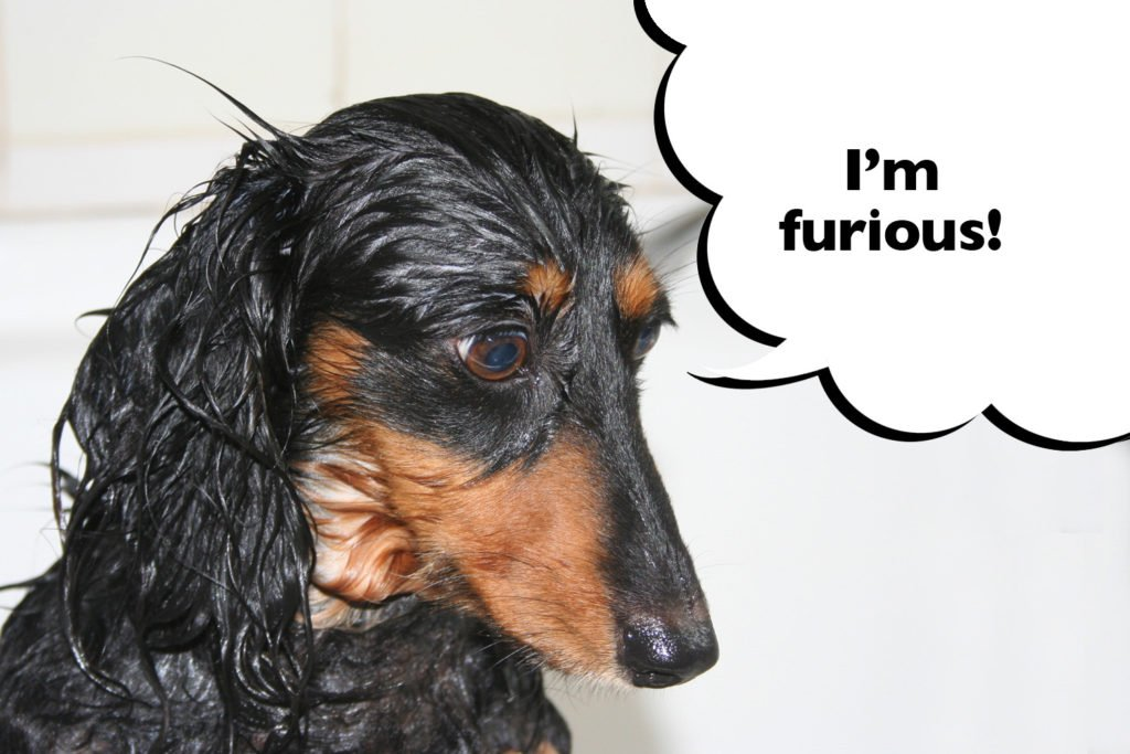 A wet Dachshund looking furious for being made to have a bath