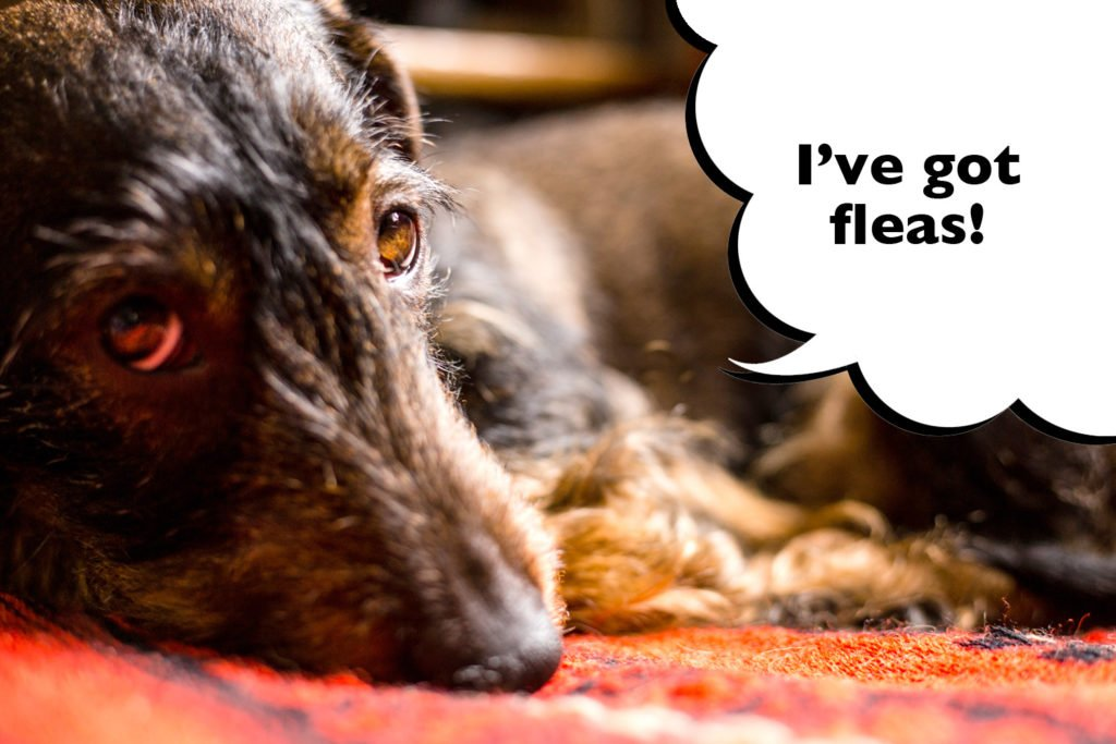 Sad looking Dachshund laying down with speech bubble that says 'I've got fleas'.
