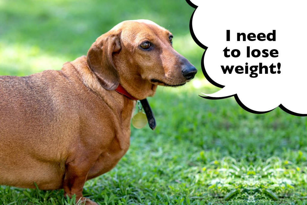 Overweight Dachshund with speech bubble that says 'I need to lose weight'