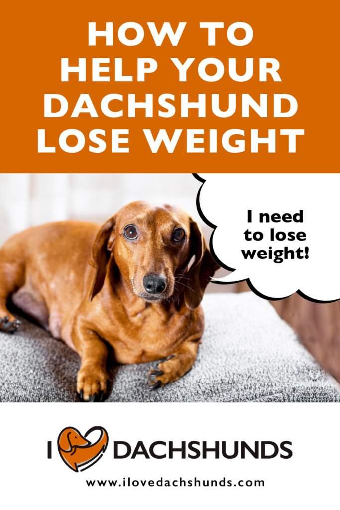 'how to help your Dachshund lose weight' text with photo of an overweight Dachshund with speech bubble that says 'I need to lose weight'.