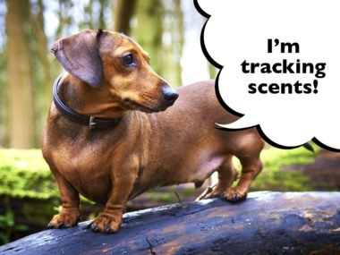 Are Dachshunds still used for hunting