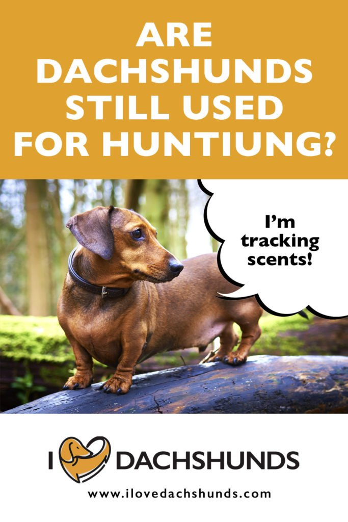 """'Are Dachshunds still used for hunting' heading with an image of a Dachshund on a log in the woods with the words 'I'm tracking scents"""""""