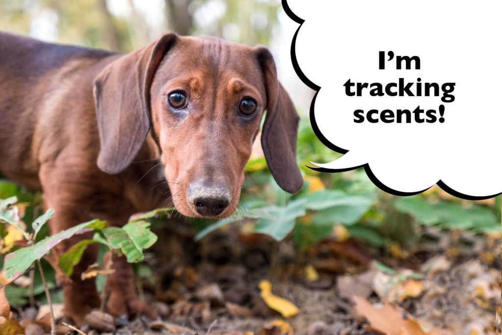 Dachshund tracking scents on a hunt in the woods