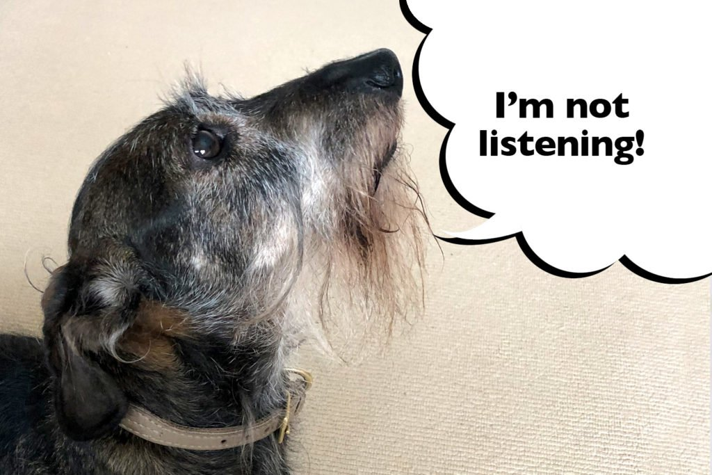 Dachshund that is not listening to their owner