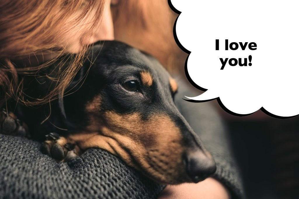 Loving Dachshund cuddling their owner and resting their head on the owner's shoulder