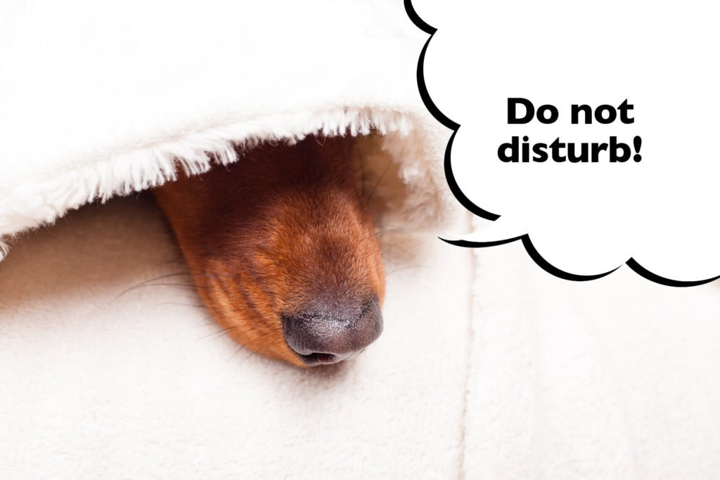 Dachshund sleeping under a blanket with their nose poking out