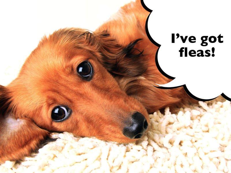 How to tell if a Dachshund has fleas