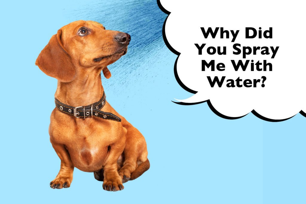 Dachshund looking up with water being sprayed in their face with a speech bubble that says 'why did you spray me with water'