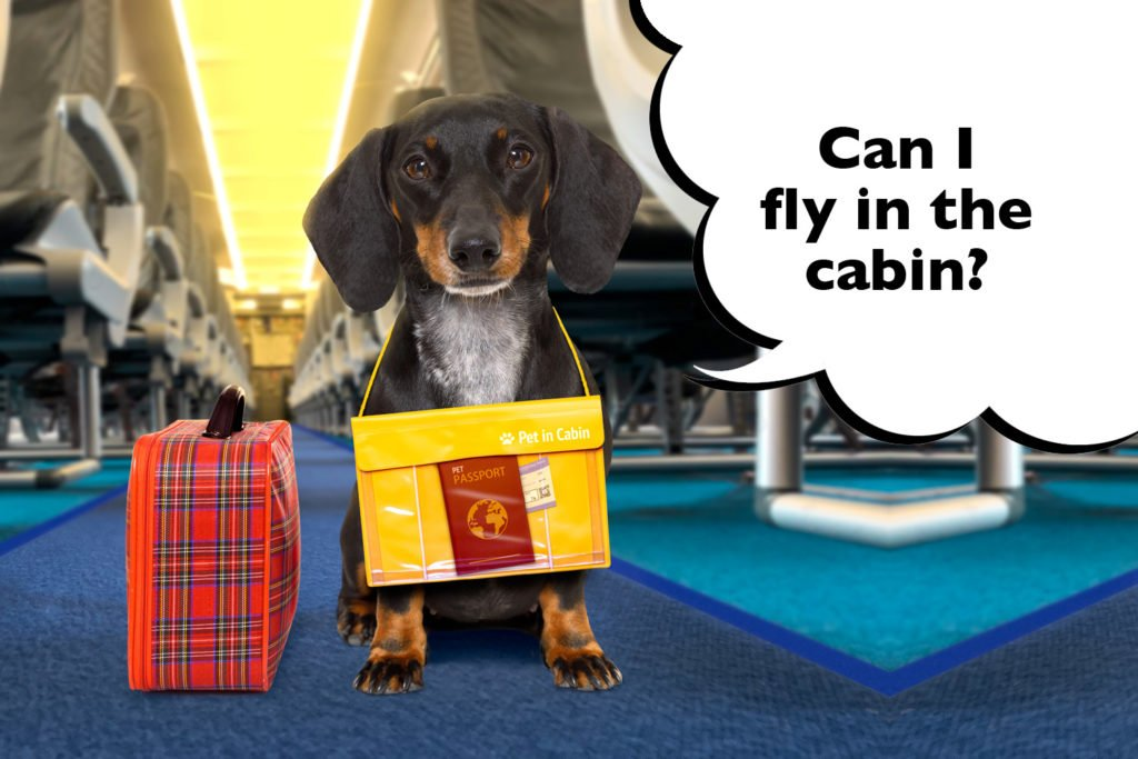 Can Dachshunds fly on a plane?Dachshund in the cabin of a airplane