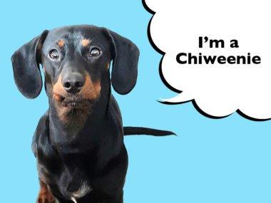 Chiweenie mixed-breed dog