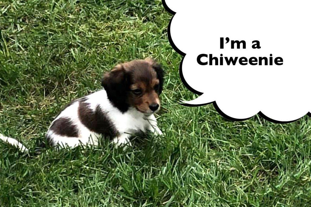 Chiweenie puppy sat on the grass