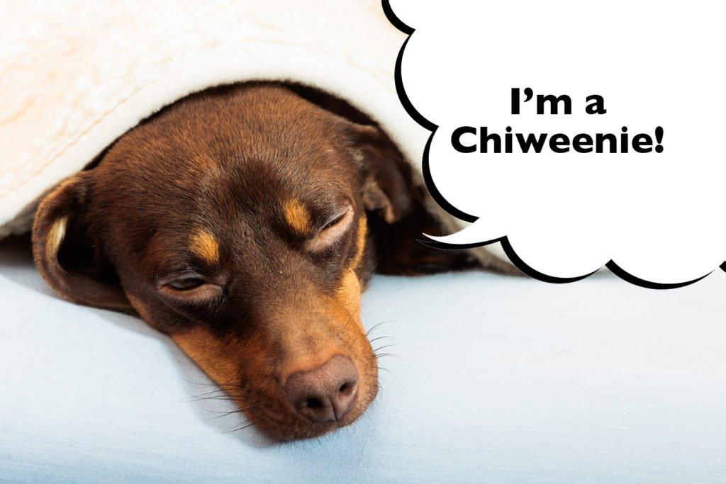 Chiweenie fast asleep  under a blanket