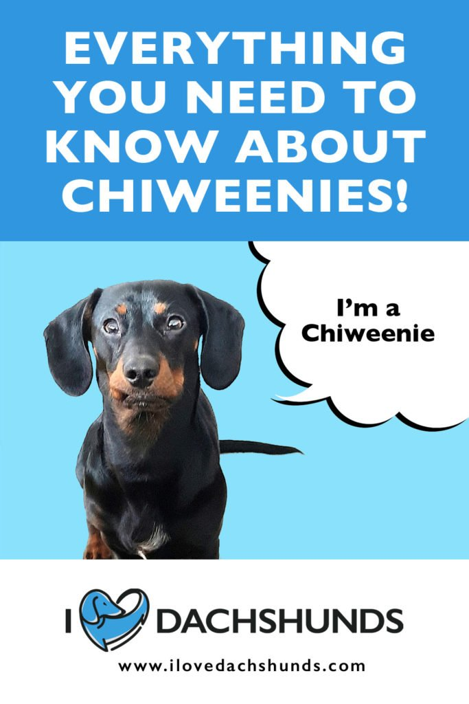 'Everything you need to know about Chiweenies' heading with a photo of a Chiweenie on a blue background and speech bubble thats ays 'I'm a Chiweenie'