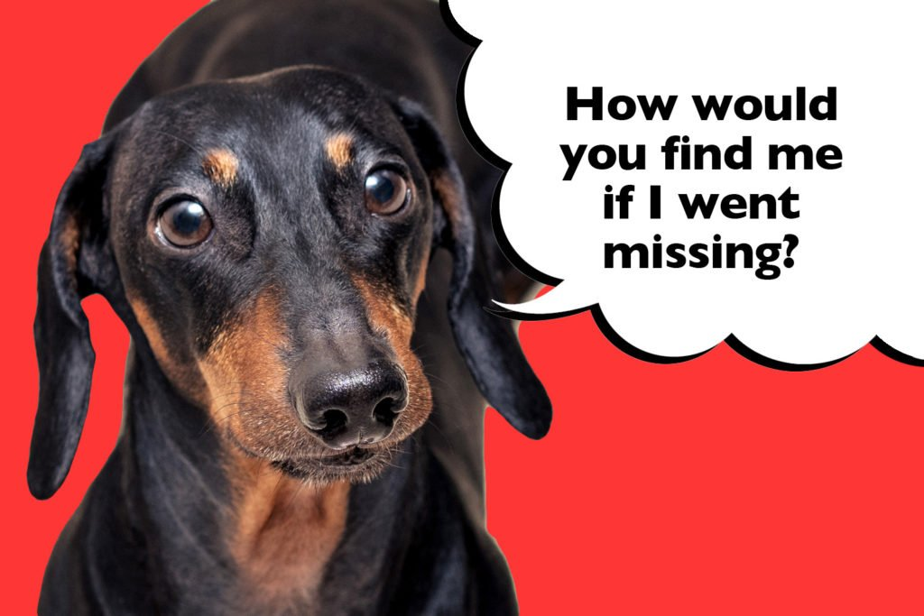 Dachshund on a red background with a speech bubble that says 'how would you find me if I went missing?'