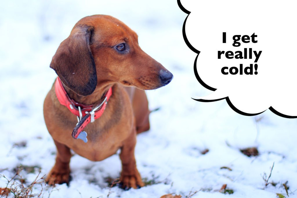 Dachshund in the snow with speech bubble that says 'I get really cold'