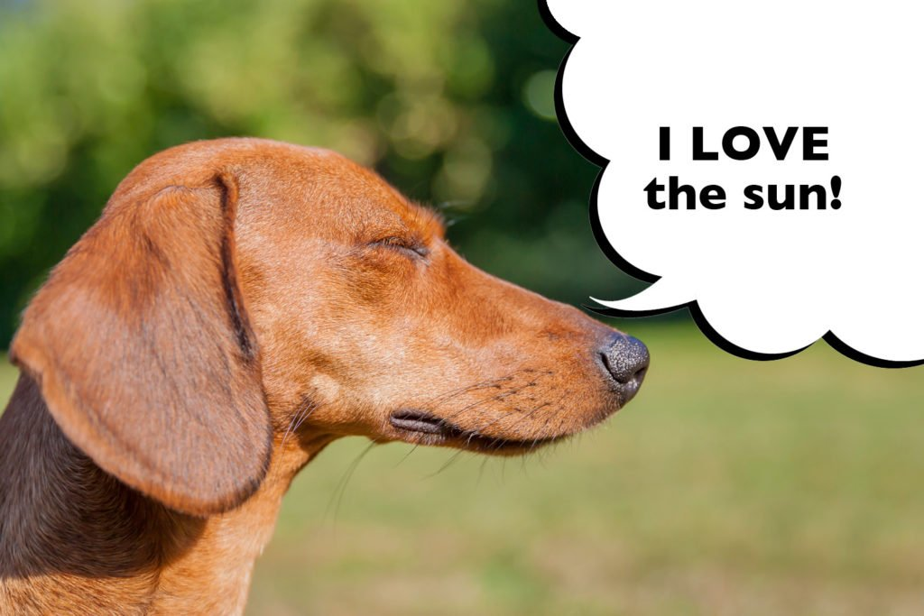Dachshund outside in the heat of the sun with eyes shut and speech bubble that says 'i love the sun'.