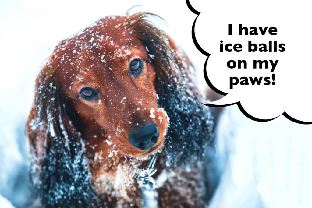 Cold Dachshund with snow on their face and speech bubble that says 'I have ice balls on my paws'