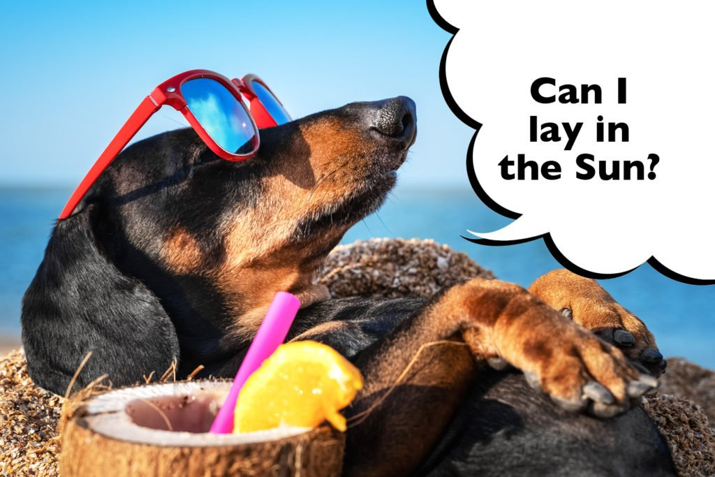 Funny Dachshund laying outside in the heat of the sun with sunglasses on and speech bubble that says 'can i lay in the sun?'.