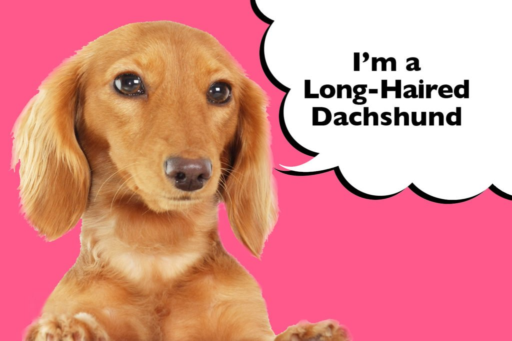 Long-Haired Dachshund on pink background with a speech bubble that says 'I'm a Long-Haired Dachshund'.