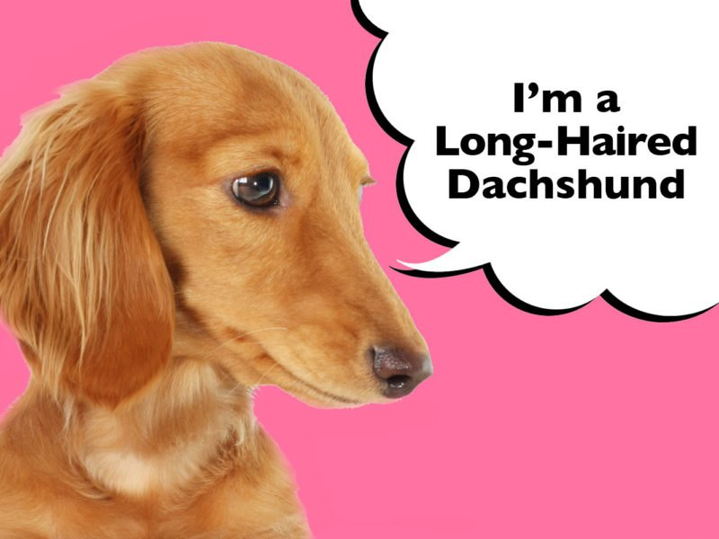 Long Haired Dachshund Complete Guide To The Breed