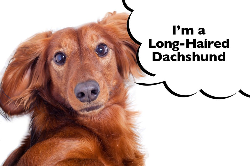Long-Haired Dachshund with a speech bubble that says 'I'm a Long-Haired Dachshund'.