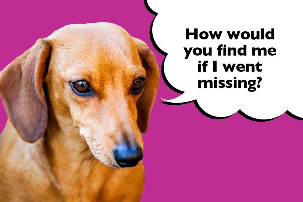 Dachshund on a purple background with a speech bubble that says 'how would you find me if I went missing?'